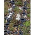 Dianthus arenarius - Sand-Nelke, 6 Pflanzen im 5/6 cm Topf