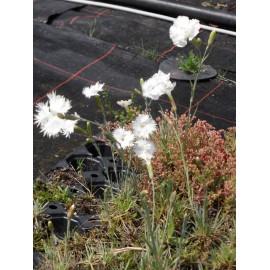 Dianthus plumarius fl. pl. Albus - Gefüllt blühende weiße Federnelke, 6 Pflanzen im 5/6 cm Topf