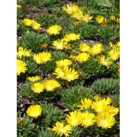 Delosperma congestum - Gedrängte Mittagsblume, 3 Pflanzen