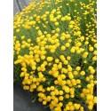 Santolina chamaecyparissus - Heiligenblume, 6 Pflanzen im 5/6 cm Topf