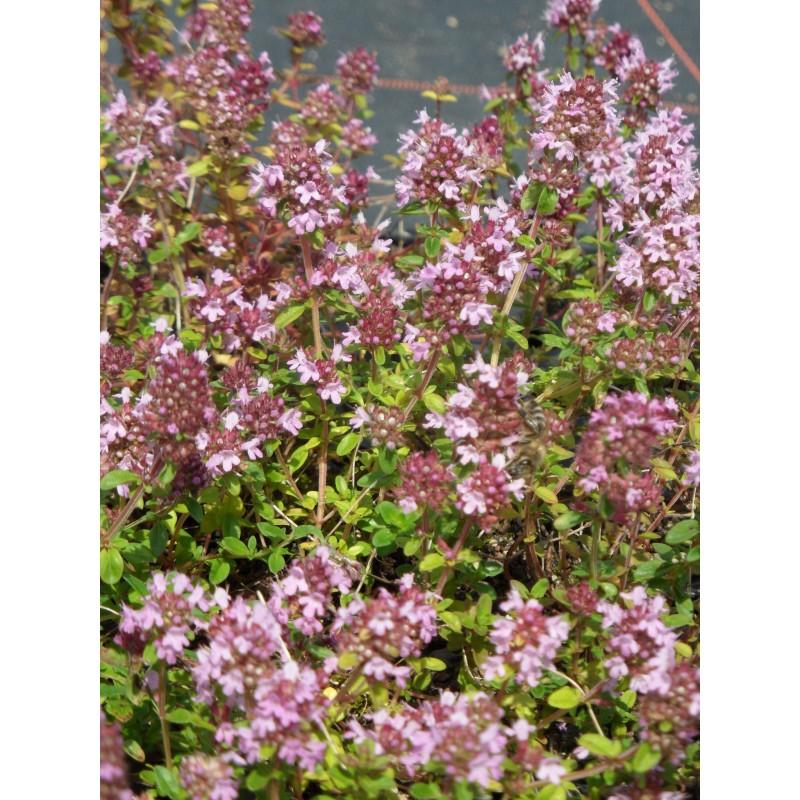 Thymus Serpyllum Magic Carpet Garten Thymian 6 Pflanzen Im 5 6 Cm