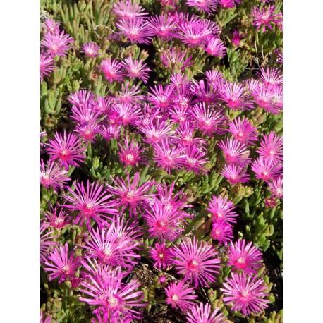 Delosperma cooperii - Mittagsblume, 3 Pflanzen