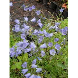 Campanula cochleariifolia Bavaria Blue - Zwerg-Glockenblume, 50 Pflanzen im 5/6 cm Topf