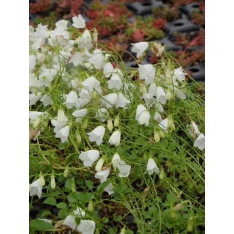 Campanula cochleariifolia Bavaria White - Zwerg-Glockenblume, 6 Pflanzen im 5/6 cm Topf
