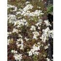 Arabis procurrens - Schaumkresse, 45 Pflanzen im 7/6 cm Topf