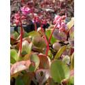 Bergenia cordifolia - Riesen-Steinbrech, 45 Pflanzen im 7/6 cm Topf