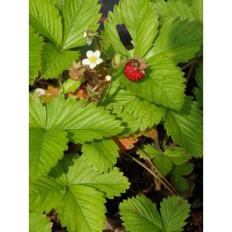 Fragaria vesca - Wald-Erdbeere, 45 Pflanzen im 7/6 cm Topf