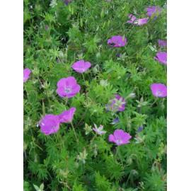 Geranium sanguineum - Blut-Storchschnabel, 45 Pflanzen im 7/6 cm Topf
