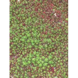 Sedum album Coral Carpet, 45 Pflanzen im 7/6 cm Topf