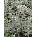 Anaphalis triplinervis - Perlkörbchen, 6 Pflanzen im 5/6 cm Topf