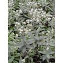 Anaphalis triplinervis - Perlkörbchen, 50 Pflanzen im 5/6 cm Topf