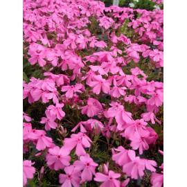 Phlox subulata Light Pink - Polsterphlox, 6 Pflanzen im 5/6 cm Topf