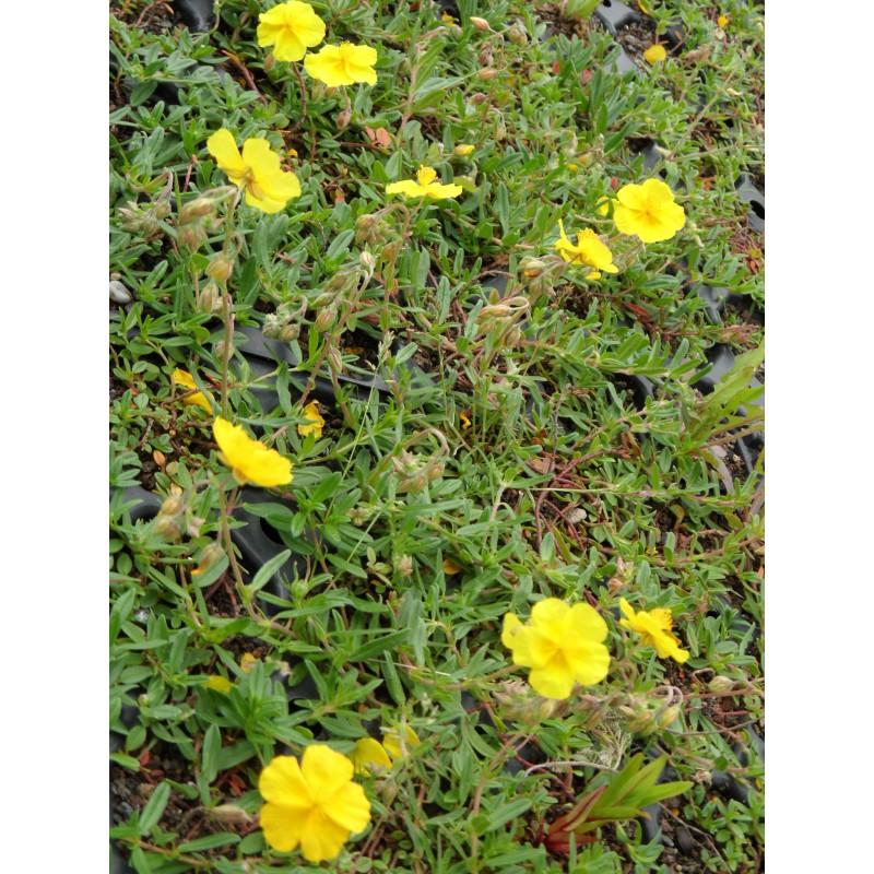 Helianthemum nummularium evergreen sonnenr schen 6 for Evergreen pflanzen
