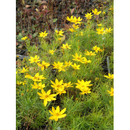 Coreopsis verticillata Zagreb - Netzblattstern, 3 Pflanzen im 7/6 cm Topf