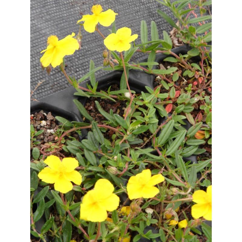 helianthemum nummularium evergreen sonnenr schen 6