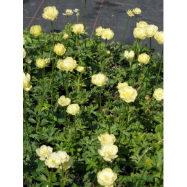 Trollius x cultorum New Moon - Garten-Trollblume, 3 Pflanzen
