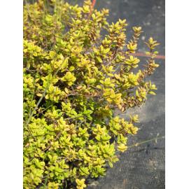 Thymus x citriodorus Golden Dwarf - Zitronen-Thymian, 6 Pflanzen im 5/6 cm Topf
