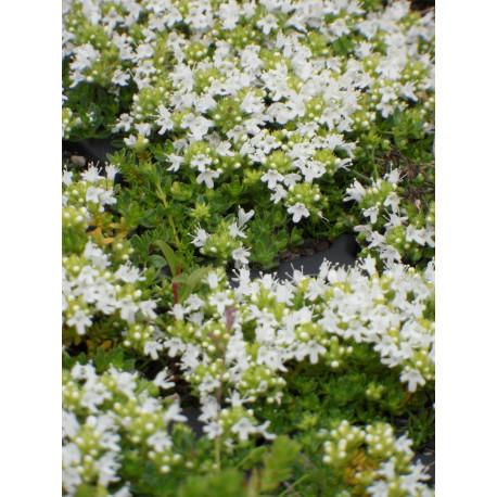 Thymus serpyllum Albus - Garten-Thymian, 50 Pflanzen im 5/6 cm Topf