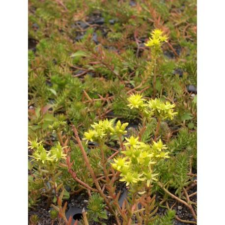 Sedum reflexum ssp. rupestre, 6 Pflanzen im 5/6 cm Topf