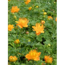 Trollius chinensis Goldkönigin - Chinesische Trollblume, 3 Pflanzen