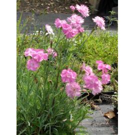 Dianthus plumarius fl. pl. Roseus - Gefüllt blühende rosa Federnelke, 6 Pflanzen im 5/6 cm Topf