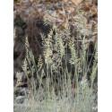 Festuca cinerea Elijah Blue - Blauschwingel, 6 Pflanzen im 5/6 cm Topf