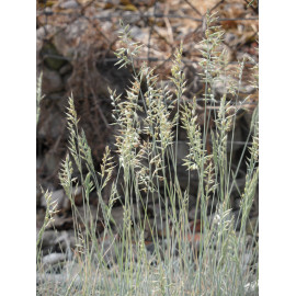 Festuca cinerea Elijah Blue - Blauschwingel, 50 Pflanzen im 5/6 cm Topf