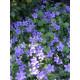 Campanula portenschlagiana - Garten-Polster-Glockenblume, 6 Pflanzen im 5/6 cm Topf