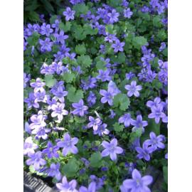 Campanula portenschlagiana - Garten-Polster-Glockenblume, 50 Pflanzen im 5/6 cm Topf
