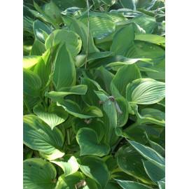 Hosta Abba Dabba Do - Gelbrand-Funkie, 1 Pflanze im 11 cm Topf