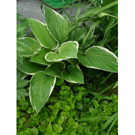 Hosta fortunei Francee - Weißrand-Funkie, 1 Pflanze im 9 cm Topf