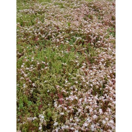 Sedum hispanicum, 100 Pflanzen im 5/4 cm Topf