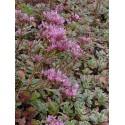 Sedum spurium Tricolor, 100 Pflanzen im 5/4 cm Topf