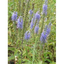 Veronica longifolia - Langblättriger Ehrenpreis, 1 Pflanze im 9 cm Topf