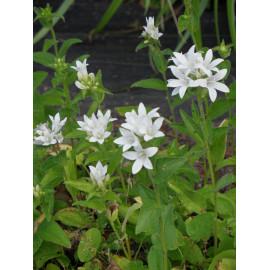 Campanula glomerata Alba - Weiße Knäuelglockenblume, 6 Pflanzen im 5/6 cm Topf