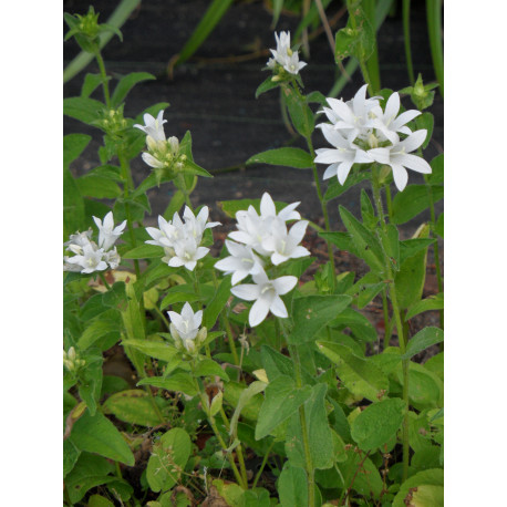 Campanula glomerata Alba - Weiße Knäuelglockenblume, 50 Pflanzen im 5/6 cm Topf