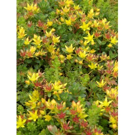 Sedum floriferum Weihenstephaner Gold, 100 Pflanzen im 5/4 cm Topf