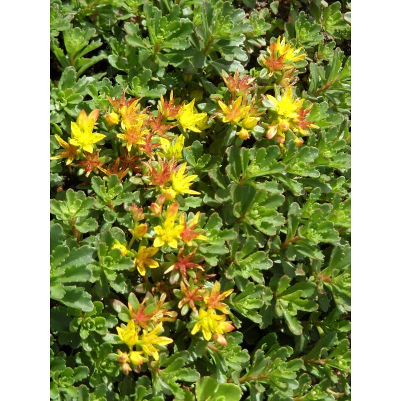 sedum floriferum weihenstephaner gold 100 pflanzen im 5 4. Black Bedroom Furniture Sets. Home Design Ideas