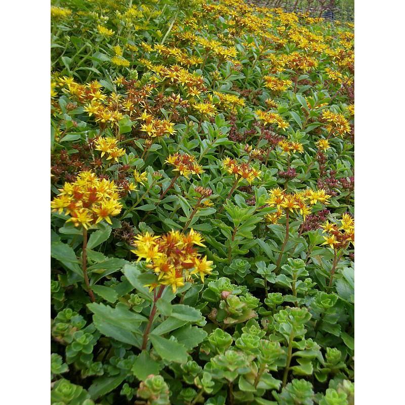 sedum floriferum weihenstephaner gold 100 pflanzen im 5 4 cm topf dachstauden. Black Bedroom Furniture Sets. Home Design Ideas