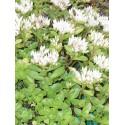 Sedum spurium Album Superbum, 100 Pflanzen im 5/4 cm Topf