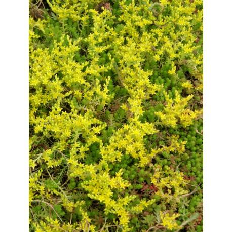 Sedum sexangulare, 100 Pflanzen im 5/4 cm Topf