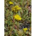Sedum reflexum, 100 Pflanzen im 5/4 cm Topf