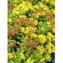 Sedum kamtschaticum, 100 Pflanzen im 5/4 cm Topf