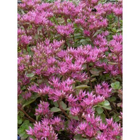 Sedum spurium Purpurteppich, 100 Pflanzen im 5/4 cm Topf
