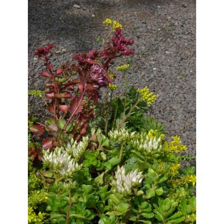 Pflanzensortiment Lavendelheide für 4 m²