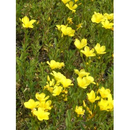 Linum flavum - Goldflachs, 6 Pflanzen im 5/6 cm Topf