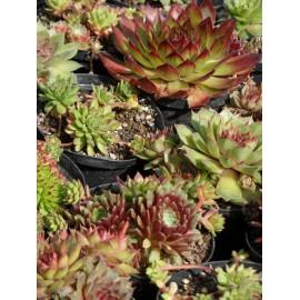 Semperviven-Mix - Hauswurz, 3 Pflanzen