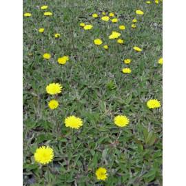 Hieracium pilosella - Mausohrhabichtskraut, 6 Pflanzen