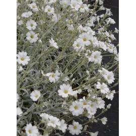 Cerastium tomentosum - Hornkraut, 6 Pflanzen im 5/6 cm Topf