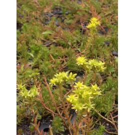 Sedum reflexum ssp. rupestre, 50 Pflanzen im 5/6 cm Topf
